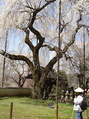 昨年4月6日の清雲寺のしだれ桜