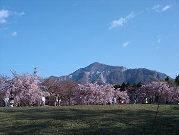 羊山公園の八重桜も見ごろでした