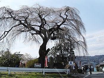 長泉院の入口には枝垂桜