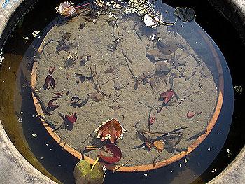 鉢には蓮の芽が出ていました。