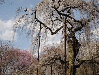 見事な清雲寺の枝垂桜