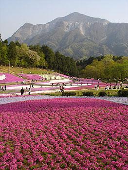 満開の芝桜と武甲山