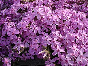 芝桜の小さな花が模様を演出しています。