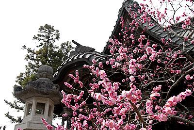 四萬部寺の元禄八重紅梅
